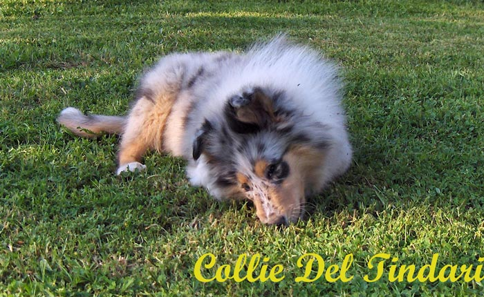 Blue Merle Boy - by Ch.You Are My Boss di Cambiano x J.Ch.Amour Toujours du Clos des Duchesses
