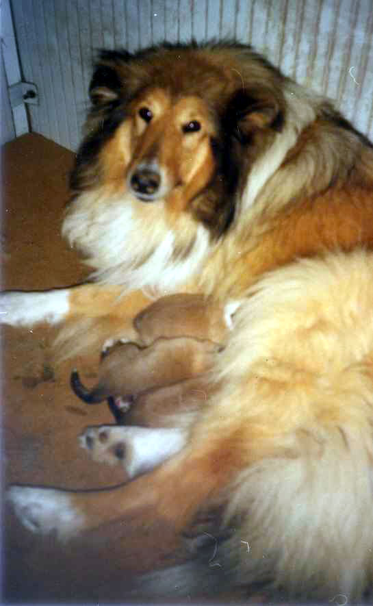 Van Glenalan Scilla and her puppies
